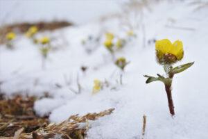 Lumileinikit kukkivat keväthangen lävitse.
